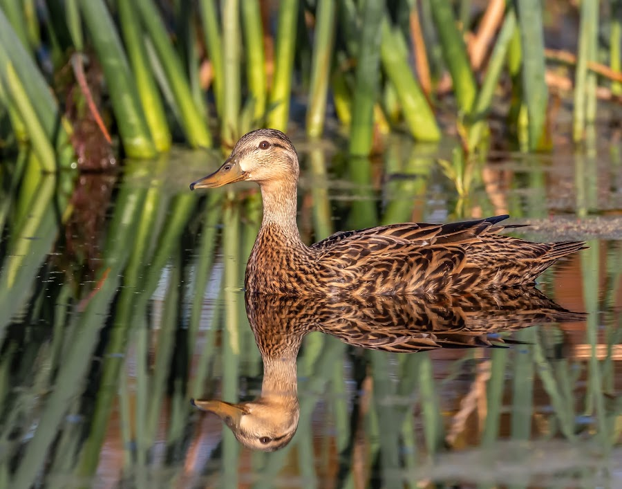 Blue-winged Teal by Don Young - Animals Birds ( reflection, nature, bird photography, birds, blue-winged teal )