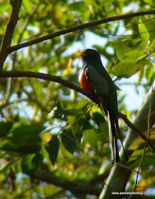 Photo: Elegant Trogon, Bioto Road, outside of Tuito