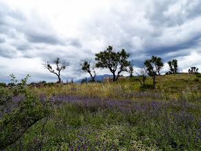Photo: Pelouse de Bourrache fleurie