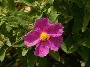 Photo: Cistus albidus