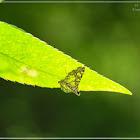Glyphodes onychinalis 碎斑野螟