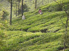 Photo: 7B220939 na plantacji herbaty