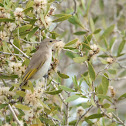 Rufous-throated Honeyeater (Immature)