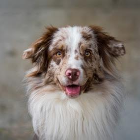 by Crazy  Photos - Animals - Dogs Portraits ( australian sheperd, pet, hund, tier, dog, portrait, animal )