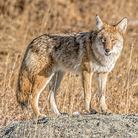 On The Prowl by Tomas Rupp - Animals Other Mammals ( coyote, predator, animals, nature, wildlife,  )