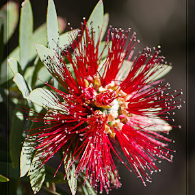 Australian Red Wattle by Ms Lyons Photography - Flowers Tree Blossoms ( up close, macro, waltte tree, red, macro photography, australian )