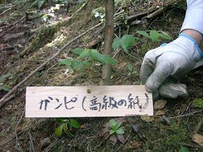 Photo: 「ガンピ」 茎の繊維は高級和紙のガンピ紙。 ジンチョウゲの仲間である淡黄色の花は芳香を放つ。漢字では、雁皮と書く。