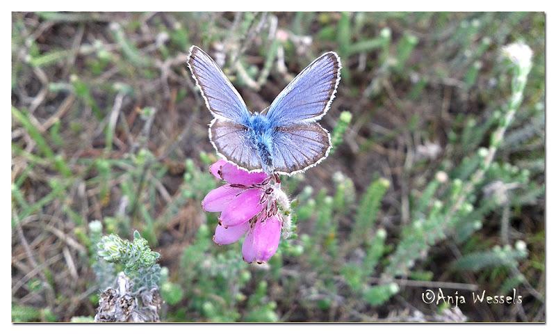 Photo: Heideblauwtje op dopheide - Silver-studded Blue on cross-leaved heath by Anja Wessels