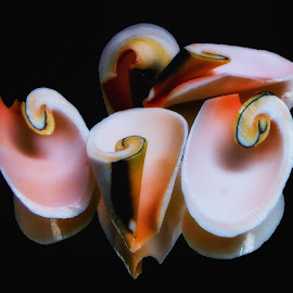 Strombus Luhuanus Lily Cut Shells 1 by Dave Walters - Nature Up Close Other Natural Objects ( strombus luhuanus, seashells, nature, lumix fz2500, colors,  )