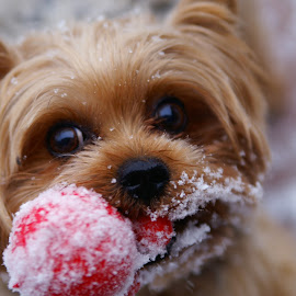 Oliver's Favorite Toy. by Mike Czosnek - Animals - Dogs Playing ( winter, toy, yorkshire terrier, mane, happy, outdoor, snow, playfulful,  )