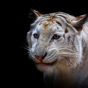 Sarcastic Grin by Esteban Rios - Animals Lions, Tigers & Big Cats ( wild, cat, blue, white, tigger )