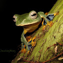 Borneo Flying Frog