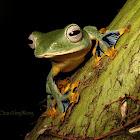 Borneo Flying Frog