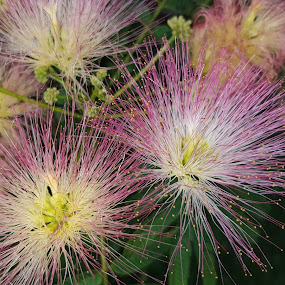 Mimosa by Jackie House - Flowers Tree Blossoms ( #makesmesmile, #pink, #jdhphotos, #treeblooms, #flower )