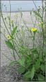 Photo: Iarba zgáibei, zgrăbunțică (Lapsana communis) - de pe Str. Rapsodiei - 2017.06.08 Album:  http://ana-maria-catalina.blogspot.ro/2017/05/plante-diverse.html