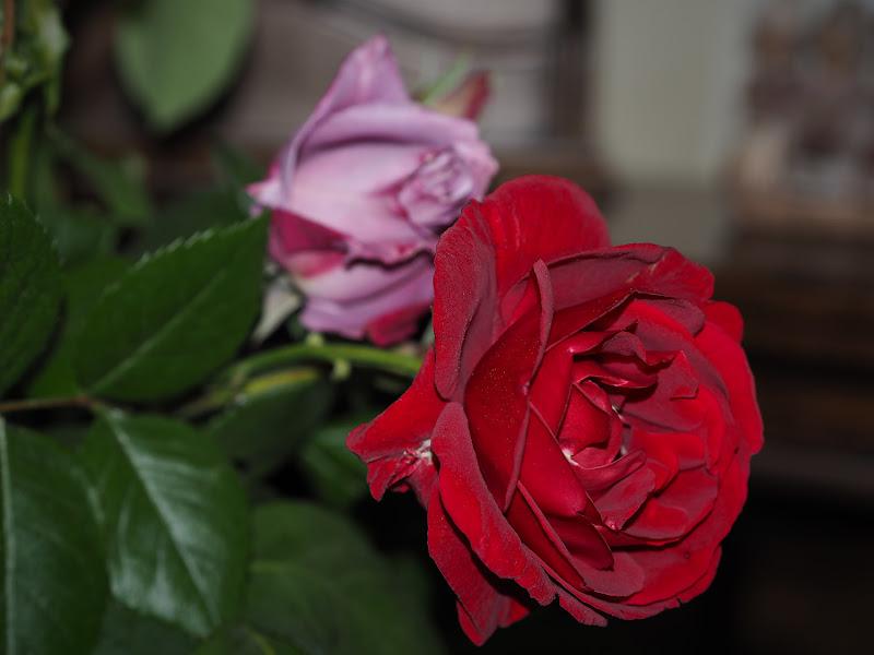 La Rosa rossa di frastebio