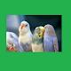 Download Muhabbet Kuşu For PC Windows and Mac