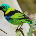 Saíra-Sete-Cores / Green-headed Tanager