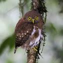 Sunda Owlet