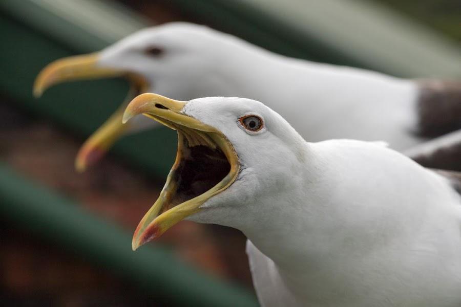 I'm hungry! by Lanie Badenhorst - Animals Birds ( #noisy, #nature, #birds, #albatros,  )