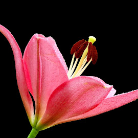 Lilium  by Asif Bora - Flowers Flowers in the Wild (  )