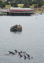 Photo: 17. If you want to see sea lions up pretty close, walk out to near the end of the Municipal Wharf (aka Fisherman's Wharf #2), where these sea lions like to congregate. The sea lions in the foreground that are sticking their fins up are doing so for heat regulation. You can hear sea lions barking all over around the wharves.