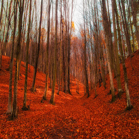 red forest by Costin Mugurel - Nature Up Close Trees & Bushes ( nature, autumn, trees, forest, leaves )