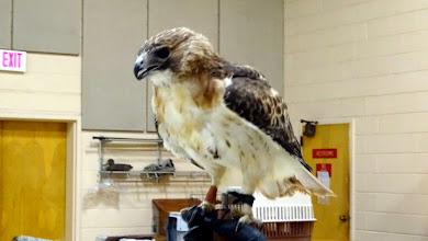 Photo: Silverado a Red Tailed Hawk