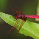 Crimson – Marsh Glider