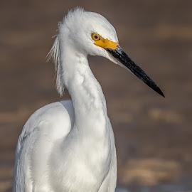 Snowy Egret by Don Young - Animals Birds ( egret, nature, bird photography, bird, snowy egret )