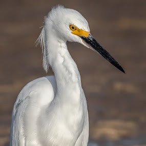 Snowy Egret by Don Young - Animals Birds ( egret, nature, bird photography, bird, snowy egret )