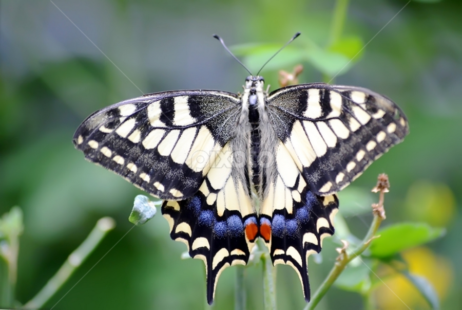 Swallowtail by Eugénio Buchinho - Animals Insects & Spiders