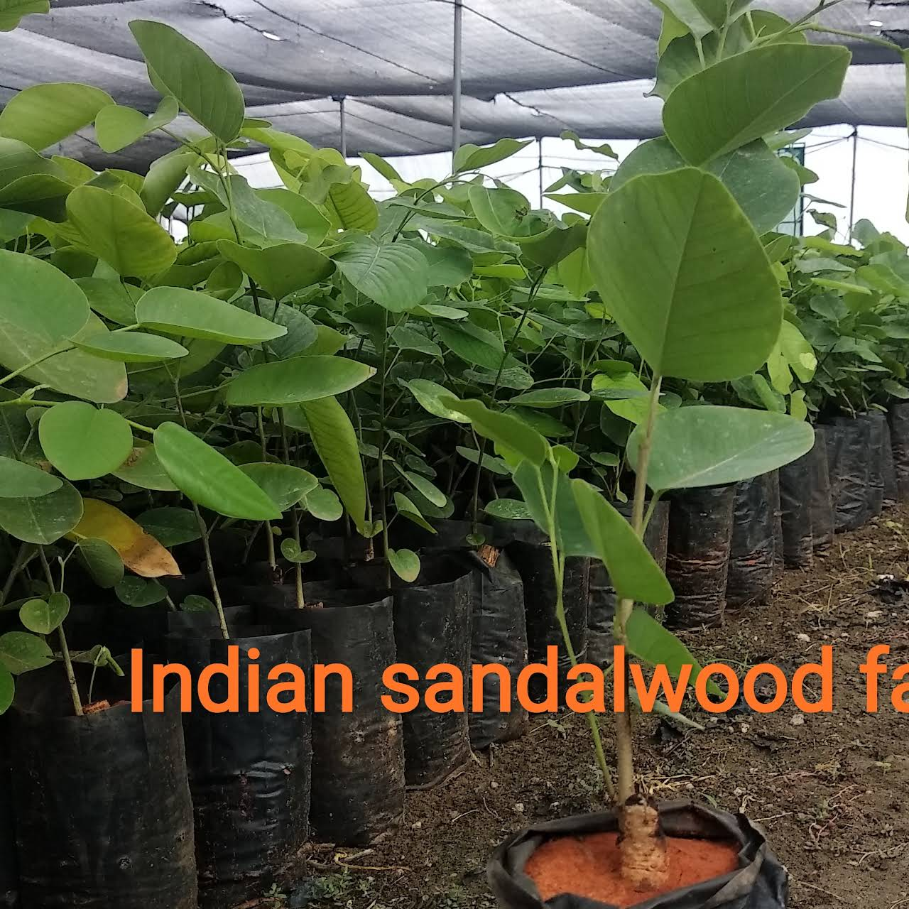 Indian sandalwood farms - For Horticulture and Forestry plants