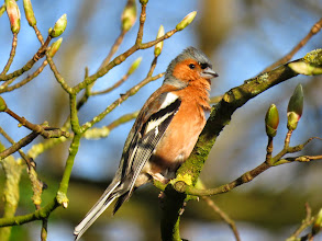 Photo: Priorslee Lake Rather smart: a male Chaffinch ... (Ed Wilson)