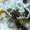 Gold lined Sea Goddess nudibranch