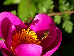 Photo: Paeonia broteroi