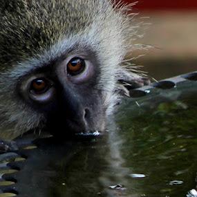 by Nico Ebersohn - Animals Other Mammals ( nose, monkey, drinking, water, eyes,  )