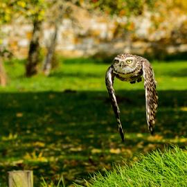 Burrowing owl by Garry Chisholm - Animals Birds ( raptor, bird of prey, nature, burrowing owl, garry chisholm )
