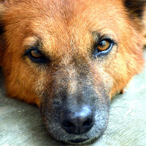 Pubby Face of Bruno : Portrait. by Vinod Rajan - Animals - Dogs Portraits ( face, portraits, dogs, animal, animals, portrait, faces, dog, dog portrait, portraiture,  )