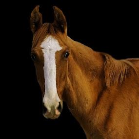 Look by Ghazan Joyia - Animals Horses (  )