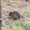 Hispod Cotton Rat