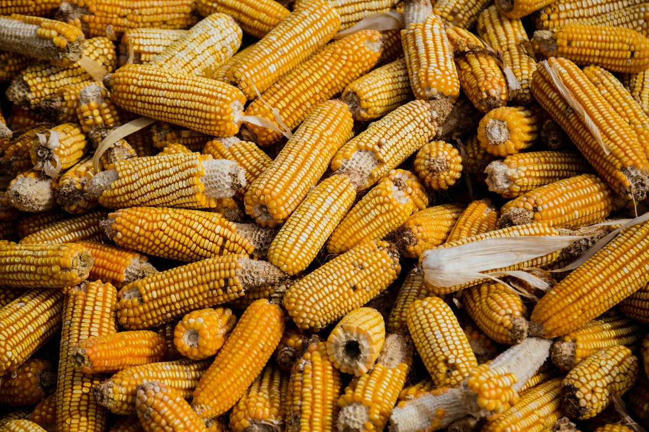 Preços do milho estão recuando no mercado nacional