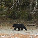 Oso Negro :: Black Bear