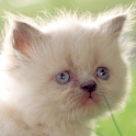 baby kittens wallpapers icon