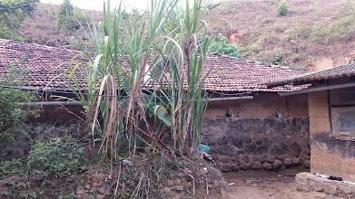 Photo: Sugarcane