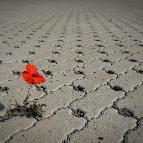 papaver by Piotr Kutolowski - Uncategorized All Uncategorized ( red flower, papaver, beton, solitude, flower )