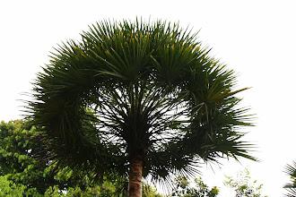 Photo: Year 2 Day 135 - Halo Palm in Singapore Botanical Gardens