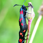 Five-spot Burnet; Gitana de cinco puntos