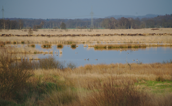 Photo: One of the lakes in Wildes Moor near Osterrönfeld, Northern Germany.  You can see northern shovelers, common shelducks, grey geese and other birds if you take a closer look.