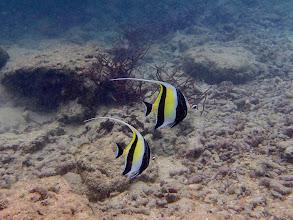 Photo: Zanclus cornutus (Moorish Idol), Miniloc Island Resort reef, Palawan, Philippines.